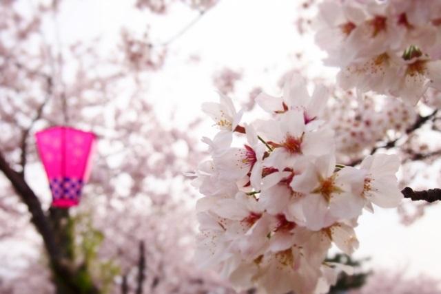 桜とぼんぼり提灯