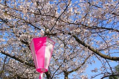 桜とぼんぼり提灯2
